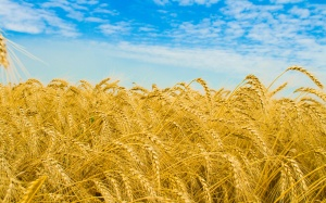 wheat-field-wallpapers_13409_2560x1600